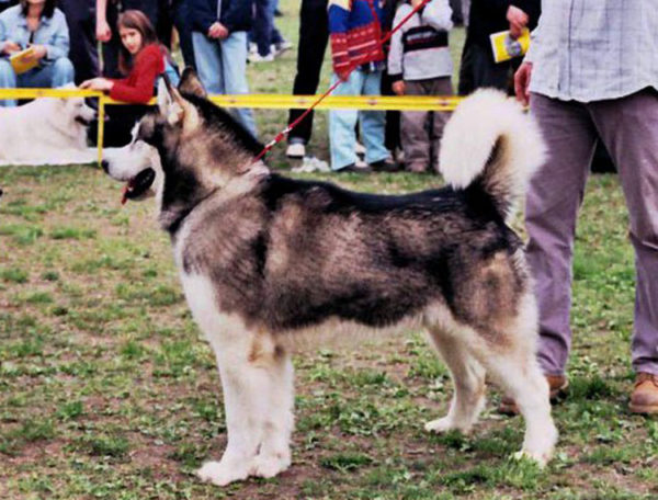 Int Ch Simba Artick Wolf 1995-2008